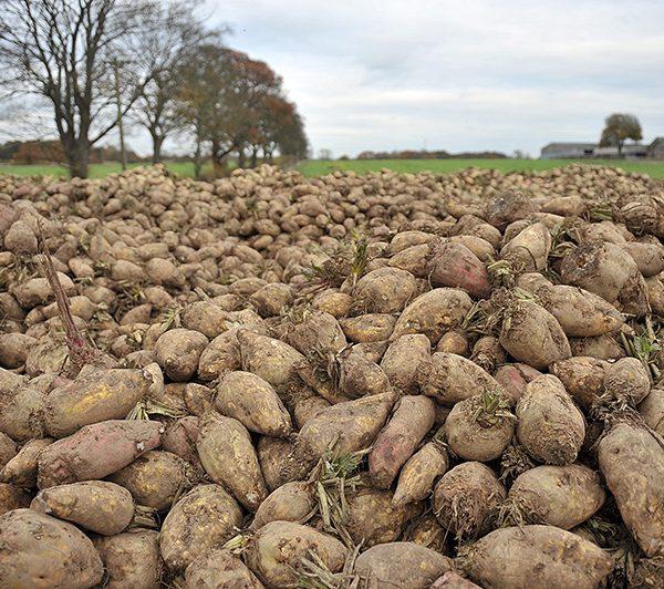 Fodder Beet Spilmans Farm Sessay