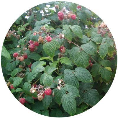 Soft-Fruits-Spilmans-Farm