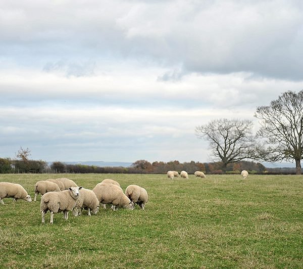 Spilmans Sheep Grazing