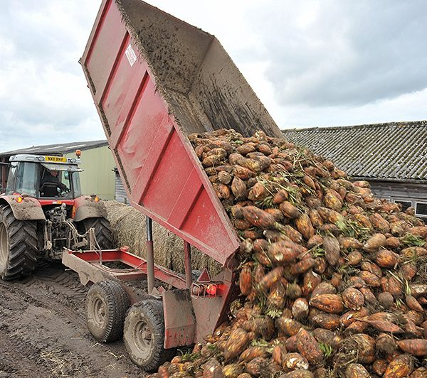 Tipping Fodder Beet_Spilmans Farm