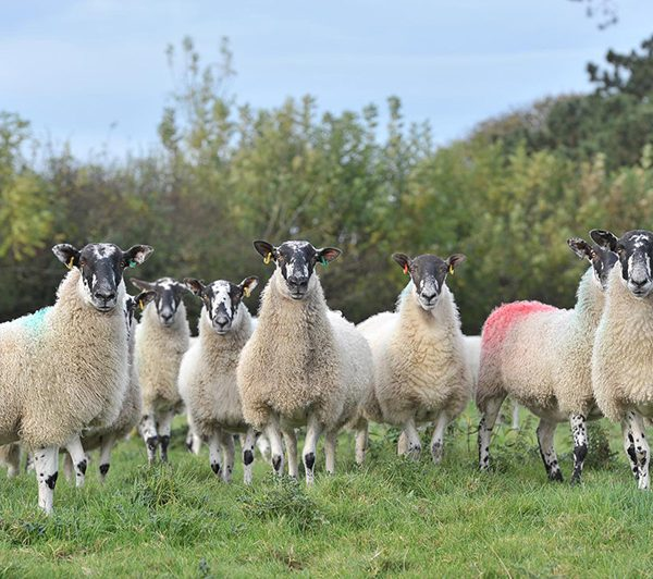 Sheep Farming Spilmans
