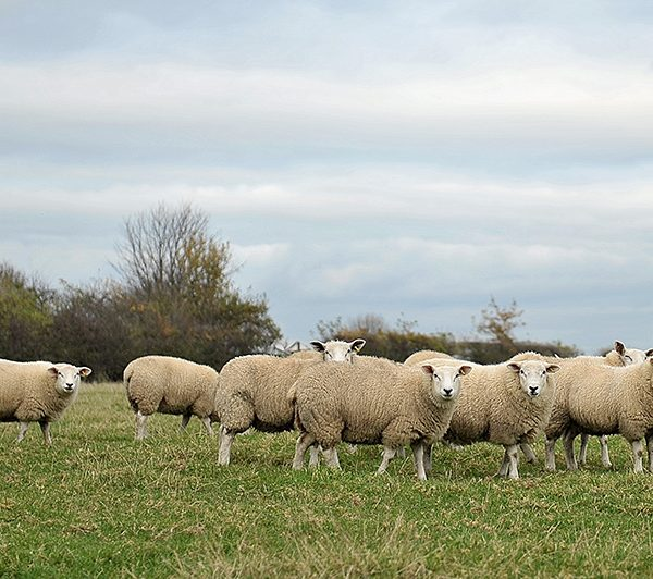 Spilman Sheep