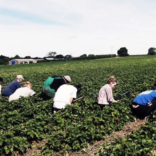 PYO-Strawberrys-in-Fields
