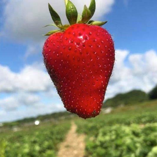 Strawberry-Farming-Spilmans